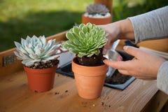 Decorating Succulent Pots Stock Photo