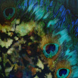 Decoration abstract exotic background with a peacock feathers Stock Photo