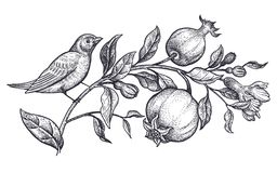 Decoration with bird and flowers. Realistic hand drawing nightingale and branch with pomegranate isolated on white background. Vector illustration art. Black royalty free illustration
