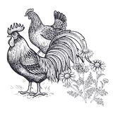 Decoration with bird and flowers. Realistic hand drawing poultry hen and rooster and chamomile isolated on white background. stock illustration