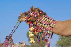 Decoration of camel Stock Images