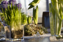Decoration of dining table. Hyacinth. Royalty Free Stock Images