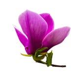 Decoration of few magnolia flowers. pink magnolia flower isolate. Magnolia. Magnolia flower Royalty Free Stock Image