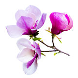 Decoration of few magnolia flowers. pink magnolia flower isolate Royalty Free Stock Image