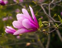 Decoration of few magnolia flowers. pink magnolia flower. Magnol. Ia. Magnolia flower, spring branch Stock Photo