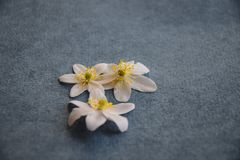 White wood anemone blossoms on jeans blue background royalty free stock photography