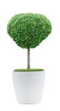 Decoration plant. On pot isolated on white Royalty Free Stock Image