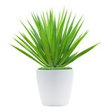 Decoration plant. On pot isolated on white Stock Photography