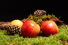 Decoration with red apples, pine cones, an old branch an moss. Decoration with red apples, pine cones, an old branch and green moss Royalty Free Stock Images