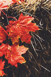 Decoration with red maple leaves and hay Royalty Free Stock Photo