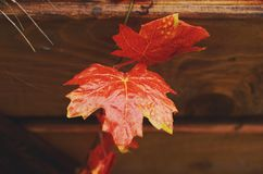 Decoration with red maple leaves and wooden crate Stock Photos