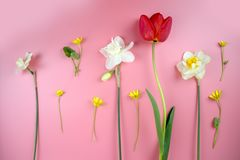 Decoration of Women`s Day or Mother`s Day. Frame of red tulips, narcissus, hyacinths and flowers muscari on white. Decoration of Women`s Day or Mother`s Day royalty free stock photo