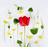 Decoration of Women`s Day or Mother`s Day. Frame of red tulips, narcissus, hyacinths and flowers muscari on white. Decoration of Women`s Day or Mother`s Day stock photography