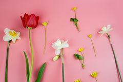 Decoration of Women`s Day or Mother`s Day. Frame of red tulips, narcissus, hyacinths and flowers muscari on white. Decoration of Women`s Day or Mother`s Day royalty free stock images