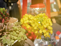 Decorations of canola flowers and succulent plants Royalty Free Stock Photography