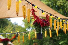 Hang corn cobs with chili peppers Royalty Free Stock Images