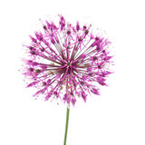 Decorative allium Royalty Free Stock Images