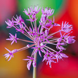 Decorative allium flower on abstract bright background Royalty Free Stock Photo