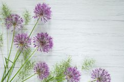 Decorative Allium onion purple flowers on stem and white wooden rustic table background. Beautiful spring background. Decorative Allium onion purple flowers on stock photography