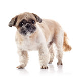 The decorative amusing doggie of breed of a shih-tzu Royalty Free Stock Photography