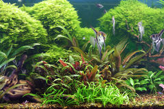 Decorative aquarium. Decorative plant aquarium with fishes Stock Photography