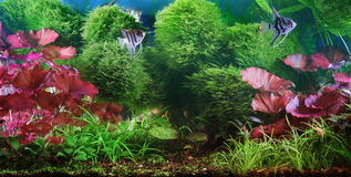 Decorative aquarium. Pterophyllum scalare on plant background Royalty Free Stock Photo