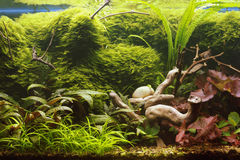 Decorative aquarium. The Decorative tropical vegetable aquarium Royalty Free Stock Photography