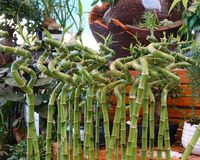 Decorative bamboo curved into a spiral. Sale of garden plants.  royalty free stock photos