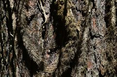 Decorative bark wood texture of ponderosa pine Pinus Ponderosa with clumps of large moss growing on surface Royalty Free Stock Images