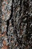 Decorative bark wood texture of ponderosa pine Pinus Ponderosa Stock Images