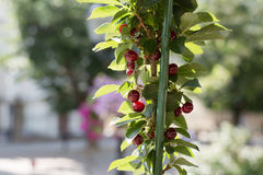 Decorative basket cherry. Decorative cherry berries in the design royalty free stock photography