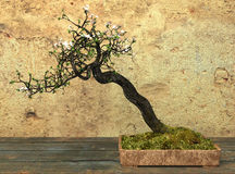Decorative Bonsai Tree Royalty Free Stock Photos