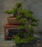 Decorative Bonsai Tree Royalty Free Stock Images
