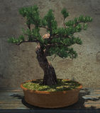 Decorative Bonsai Tree Stock Photography