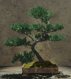 Decorative Bonsai Tree Royalty Free Stock Photography