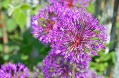 Decorative bow purple Royalty Free Stock Photo