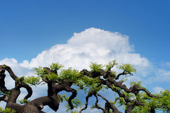 Decorative branches. Of trees against the blue sky with clouds Stock Photos