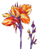 Decorative bright orange Iris flower Stock Photos