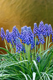 Decorative bulbous garden plant. Stock Images