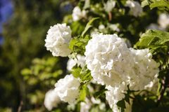 Decorative Bush blooming with white  flowers stock images