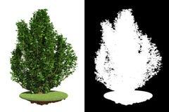 Decorative Bush Isolated on White Background. Stock Image