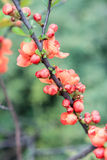 Decorative bush Japanese quince. On a green background Stock Image