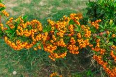 Decorative bush with orange berries Pirakanta in the park royalty free stock images