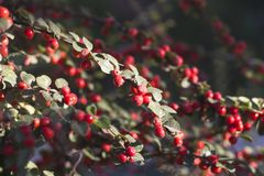 Decorative bushes with red berries. Cotoneaster. Autumn background. Winter background royalty free stock photo