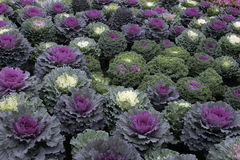 Decorative cabbage. Variety of decorative cabbage in a garden stock photography