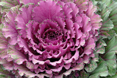 Free Decorative Cabbage Royalty Free Stock Images - 13528909