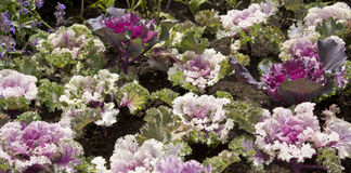Decorative cabbage Stock Photo