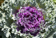Decorative cabbage. Full frame background of decorative cabbage Royalty Free Stock Images