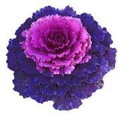 Decorative Cabbage Stock Photo