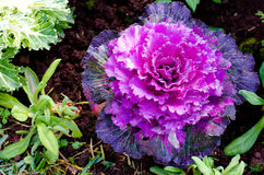 Decorative cabbage. Deep purple decorative cabbage as background royalty free stock images
